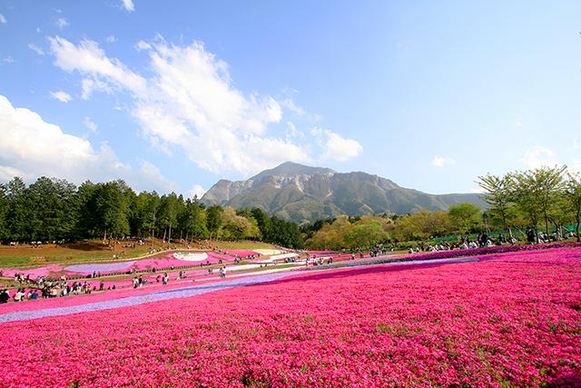 羊山公園・芝桜