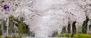 「日本さくら名所百選」 長瀞町 北桜通り(桜のトンネル)