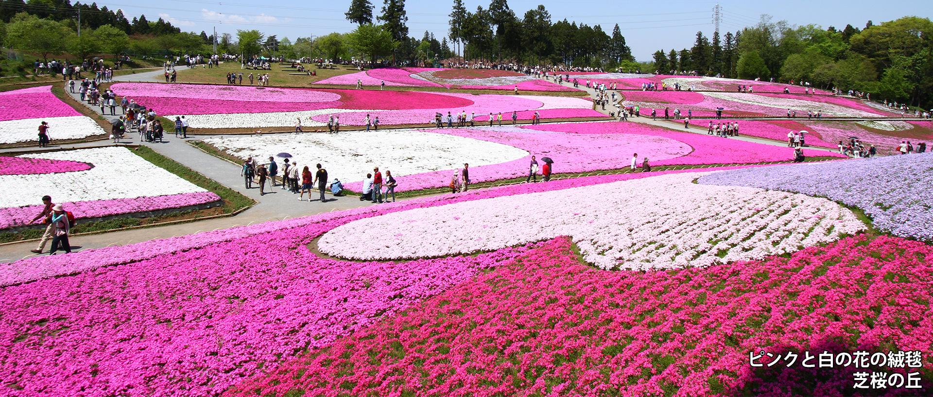 ピンクと白の花の絨毯 芝桜の丘